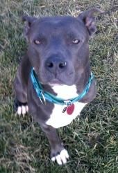 URGENT!!!!--Akeelah is an adoptable Pit Bull Terrier Dog in Findlay, OH. ***URGENT!!!!**** PLEASE CALL 419-423-7232 and ask for Dr. Tyzzer if you are interested in adopting this SWEET GIRL!!!! Akeelah...
