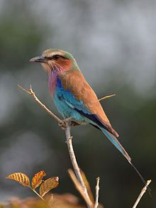 Lilac-breasted Roller (Coracias caudatus) at South Luangwa National Park, Zambia.   220×293