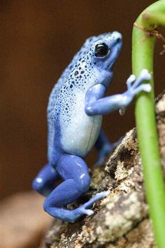 Blue Poison Dart Frog Blue Poison Dart Frog, Poison Dart Frogs, Funny Frogs, Cute Frogs, Amazing Frog, Frog Pictures, Frog And Toad, Vivarium, Reptiles And Amphibians