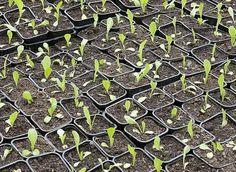 Calendrier des semis et des récoltes au potager