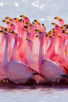 Fotografia de Flamingos por Alex Shar;