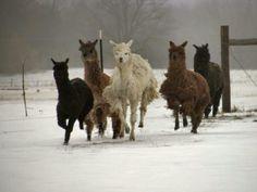 Alpacas on the run at SunRise Suris