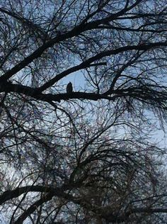 I don't know if you can see it, but there are two owls living in a park near me!! Me and a friend think they're Great Horned owls! We find a lot if owl pellets, and dead mice.