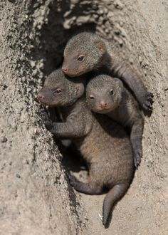 Banded mongoose pups--two weeks old by Frank Rønsholt on 500px
