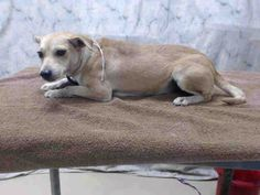 Houston- This DOG - ID#A415436 I am a female, tan and white Chihuahua - Smooth Coated mix. My age is unknown. I have been at the shelter since Sep 15, 2014.