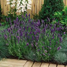perennial seeds jung seed company on pinterest delphiniums seeds and flower seeds. Black Bedroom Furniture Sets. Home Design Ideas