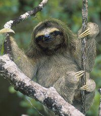 Pygmy Three-toe Sloth: Adorable creatures, critically endangered as they are only found in mainland Panama. Cool fact: They are very skilled in swimming!