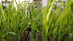 #mainecorn, #greenhousecorn, #cornstarts