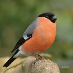 A Male Bullfinch... my favourite British bird.