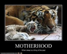 Motherhood: where sleep is a thing of the past. The Joys Of Motherhood, Quotes About Motherhood, Baby Animals, Funny Animals, Cute Animals, Wild Animals, Very Funny Pictures, Funny Photos, Siberian Tiger