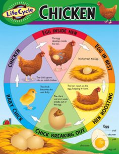 Life Cycle of a Chicken Learning Chart Learn about the life cycle stages of the chicken. Back of chart features reproducible sheets, activities, and helpful teaching tips. Poster measures x classroom size. Ideal for teaching: (Ages 5 to Preschool Science, Teaching Science, Science For Kids, Life Science, Science Biology, Ag Science, April Preschool, Science Room, Montessori Science