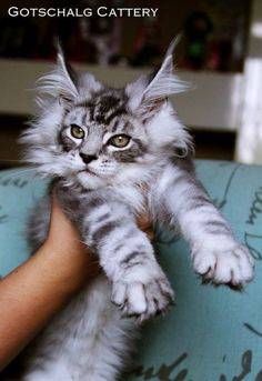 Maine Coon kitty.  Gorgeous cat