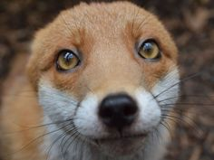 Meet Pudding, the Photogenic Fox That's too Friendly to be Released Into the Wild
