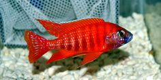 Ruby Red Peacock