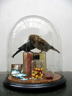 #cloche #taxidermy #