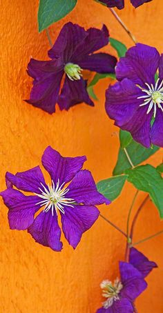 Clematis against orange wall. I love this color combination! I have orange walls with white wainscoat and this is what I will frame for the walls- black frame, white mat, purple clematis