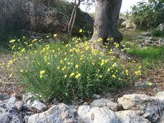 Ma voi avevate mai visto i fiori della #rucola selvatica? La Diplotaxis tenuifolia dal sapore deciso era impiegata già ai tempi dei Romani.  Passeggiando a #lamadantico sentirete l'odore dalla rucola sprigionato dallo sfregamento dei vostri piedi.