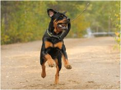 Everything About The Playful Rottweiler Puppy Grooming German Rottweiler Puppies, Rottweiler Funny, Big Dogs, I Love Dogs, Cute Dogs, Rottweiler Pictures, German Dog Breeds, Puppy Mix, Pets