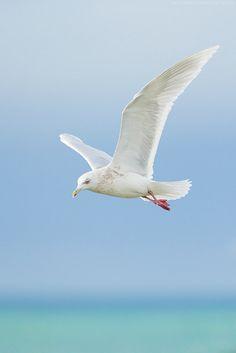 White seagull flying over ocean water. Nicolas Vanier, Seagulls Flying, Shorebirds, Tier Fotos, Sea Birds, Wild Birds, Am Meer, Beautiful Birds, Birds In Flight