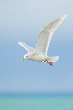 beautiful-nature-photography:  Iceland Gull by Dennis Lorenz on Flickr.