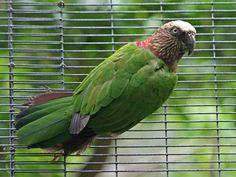 Hawk-headed Parrot (Deroptyus accipitrinus) by Sandy Cole.