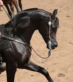 Zefyr+/ (Sundance Kid V x Pattrice) 2002 Black Stallion Mike Neal Arabian Center