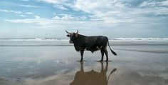 Bulls love to frolic on the beach in Pondoland, South Africa - Lost At E Minor: For creative people