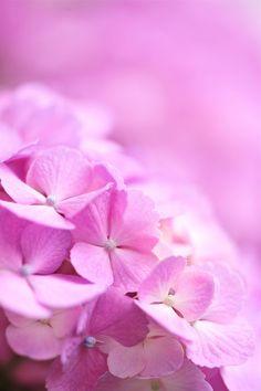 eyesfornature:  Pink in Rainy Seasonby*Sakura*