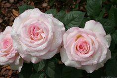 'Moonstone ' Rose Photo