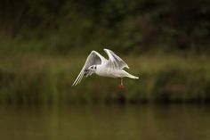 Little gull in flight. - A small, dainty gull. Adults in summer have black…