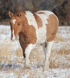 Purebred Curly Horse Stag Creek Cholla Wren