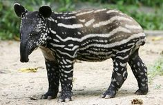 The Malayan Tapir is a native to Southeast Asia and to date, there are 8 Malayan Tapirs at the Singapore Zoo.