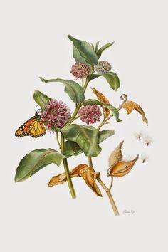 Botanical Illustration: Promoting Milkweeds