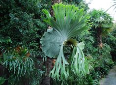 Platycerium superbum in a botanical garden. P.superbum and P.bifurcata have been commonly cultivated as ornamental plants. The genus Platycerium consists of about 18 different species. They are widely known as staghorn or elkhorn ferns due to their unique shape [Sw: älghornsbräken].