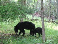 pic taken by me Pam Ward of black bear cub and mama bear in Cades Cove 2007