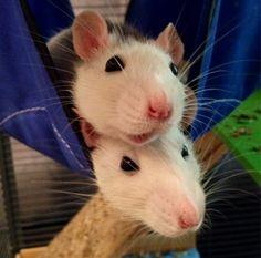 Sleepy & Cuddly Rats | Cutest Paw
