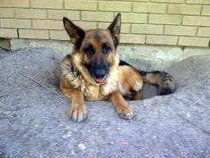 10/03 ***SENIOR*** Petango.com – Meet Emmy, a 8 years 2 months German Shepherd available for adoption in MANOTICK, ON Address , Unit P.O. Box 416, MANOTICK, ON, K4M 1A4 Phone (613) 528-1764 Website http://www.petango.com/shelter s/1063 Email gdrashley@gmail.com