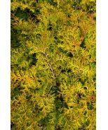 Compact Bronze Hinoki Cypress (Chamaecyparis obtusa 'Pygmaea Aurescens') - Monrovia