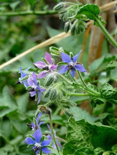 borage- good for the bees, culinary and medicinal, too!