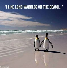 21 King Penguin pictures and Information - meowlogy Animals And Pets, Baby Animals, Funny Animals, Cute Animals, Penguin Meme, King Penguin, Penguin Craft, Penguin Love Quotes, Penguin Walk