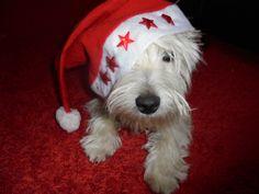 My little Santa! Westie <3