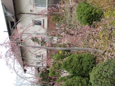 I have seen a few of these beautiful trees blooming in early spring. Gardening Books, Early Spring, Shrubs, Bloom, Trees, Flowers, Plants, Beautiful, Beginning Of Spring