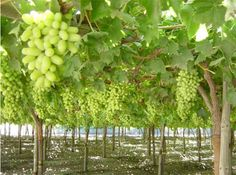 These are table grapes, not wine grapes, but I love this image and how they dangle like jewels ready to be picked.
