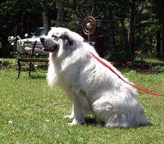 GREAT PRYNESS DOG PHOTO   Great Pyrenees - Dogs - zeus
