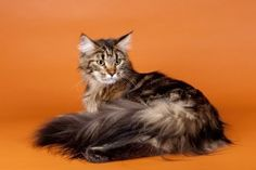 About Maine Coon breed