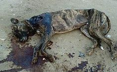 .@airtours_de In #Spain galgos are killed with stones. Is this a place for holidays? #GalgoArmy
