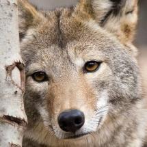Canadian Grey Wolf, Manitoba by Ladis Bohuslav