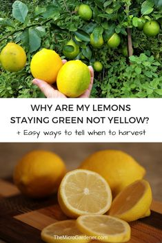 Lemons not ripening? Staying green too long? Not sure when to pick them? Discover 5 reasons why your lemons may be slow developing + easy ways to tell when they are ripe and ready to harvest. Home Vegetable Garden, Fruit Garden, Edible Garden, Growing Lemon Trees, Growing Tree, Citrus Trees, Fruit Trees, Organic Gardening, Gardening Tips