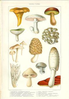 1903 Edible Mushroom Print