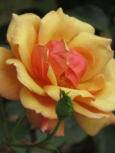 Belle Epoque bonita Epoca Rose amarillo